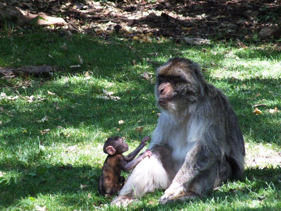 Forêt des singes à Rocamadour dans le Lot