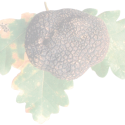 Truffe noire du Périgord
