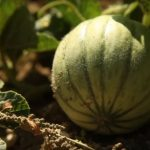 Lot. Le Melon du Quercy IGP