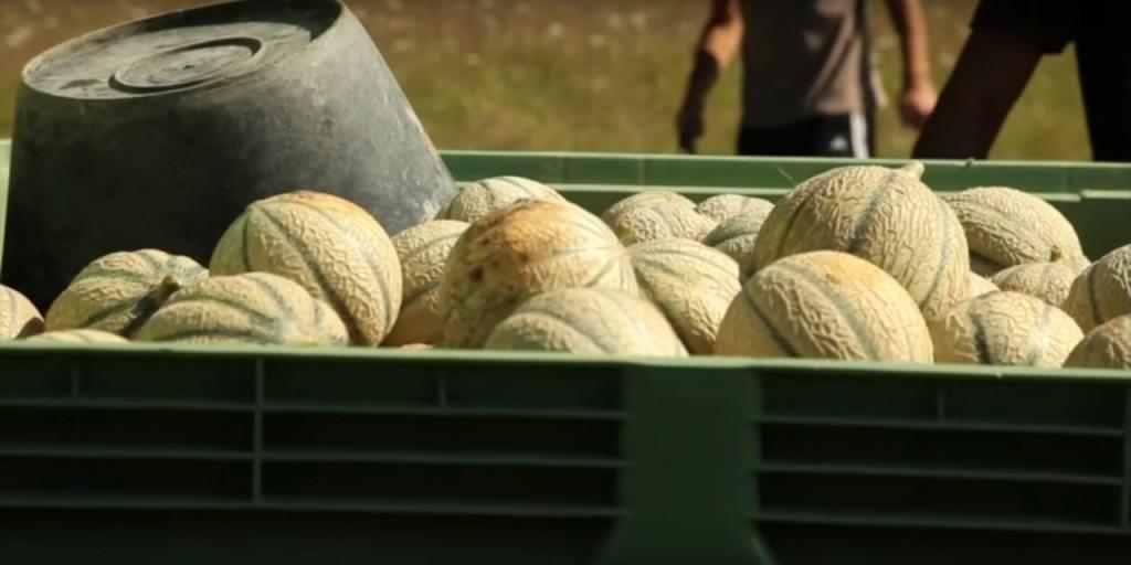 Le melon du Quercy IGP - récolte