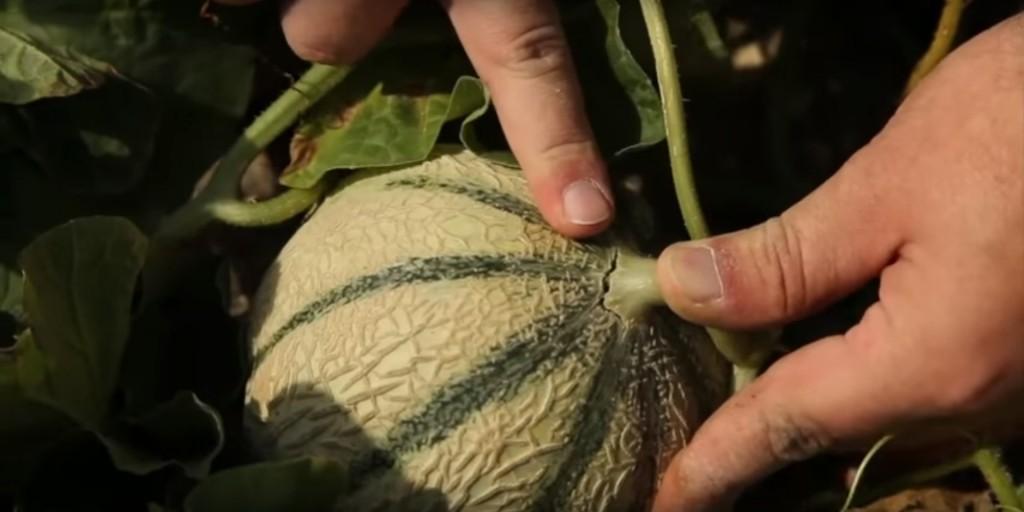 Le melon du Quercy ramassé à maturité