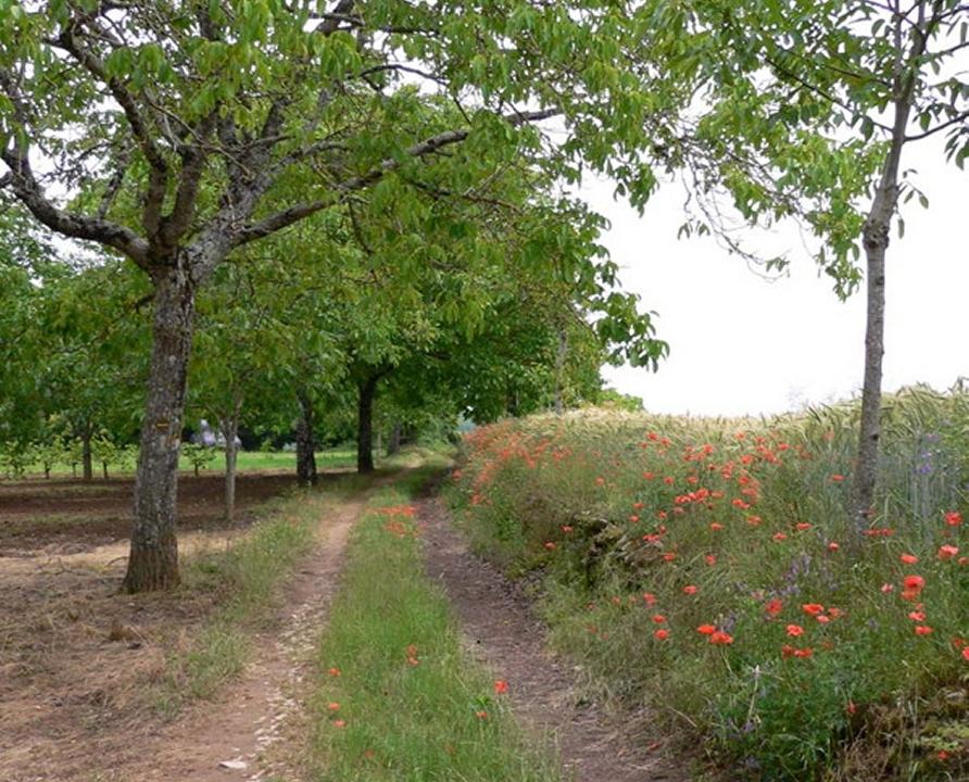 Circuits randonnée pédestre - Marminiac - Chemin de l'Ancienne Voie Romaine - 9km (chemin dans noyeraie)