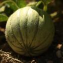 Le melon du Quercy IGP