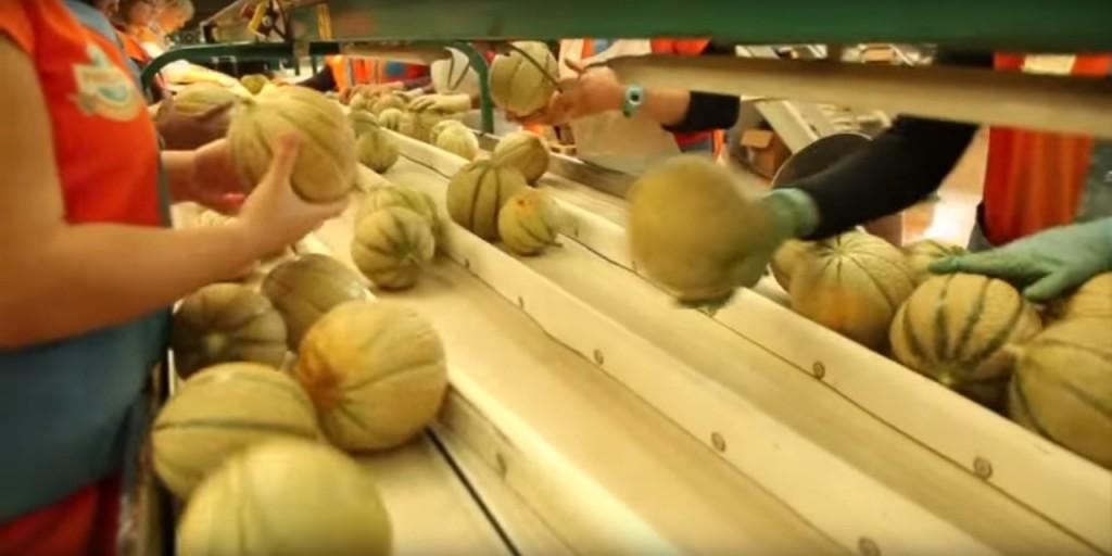 Le melon du Quercy - Le tri lors de conditionnement