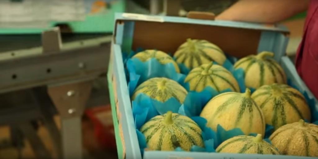 Le melon du Quercy - Le conditionnement