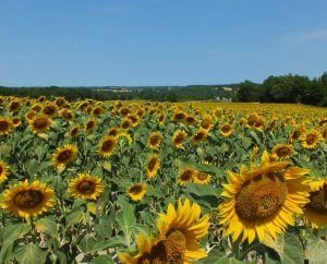 Campagnes - Belfort-du-Quercy - Champs agricoles (Malmont) -